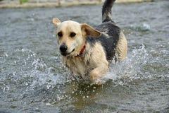 Собака скача в реку Стоковое Изображение