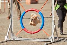 Собака скача через барьер подвижности стоковые изображения rf