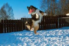 Собака скачет высоко для frisbee Стоковые Фотографии RF