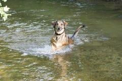 Собака скачет в реку стоковые фото