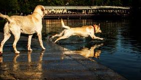 Собака скачет Стоковые Изображения RF