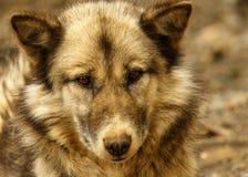 Собака скелетона Гренландии стоковая фотография rf