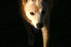 Собака скотин вытаращиться Стоковые Фотографии RF