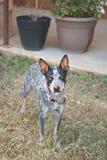 Собака скотин Техаса голубая Heeler Стоковое Фото