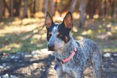 Собака скотин Техаса голубая Heeler Стоковая Фотография RF