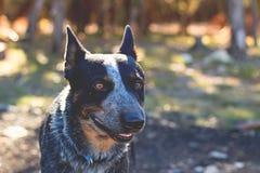 Собака скотин Техаса голубая Heeler Стоковые Фото