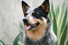 собака скотин acd австралийская Стоковое Изображение