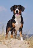 Собака скотин Entlebuch на стороне моря Стоковое фото RF