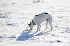Собака смешанной породы белая при слепые пятна стоя на свежем снеге и обнюхивая вокруг Стоковые Фото