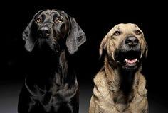 Собака смешанной породы коричневая и черная с портретом волшебных глаз в blac Стоковые Фото