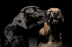 Собака смешанной породы коричневая и черная с портретом волшебных глаз в blac Стоковые Изображения