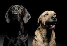 Собака смешанной породы коричневая и черная с портретом волшебных глаз в blac Стоковые Изображения RF