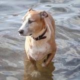 Собака Смешанн-породы Wading в мелководье Стоковая Фотография RF