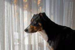 собака смотрит вне окно стоковое изображение rf