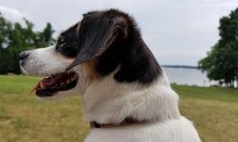 Собака смотрит озеро стоковая фотография rf