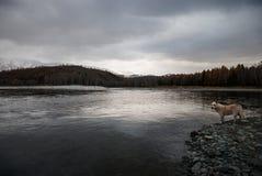 Собака смотрит реку горы Стоковое Изображение RF