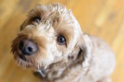 собака смотря вверх Стоковые Фото