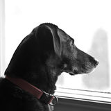 собака смотря вне окно Стоковое фото RF