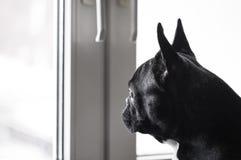 собака смотря вне окно Стоковое Изображение
