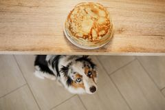 собака смотря еду Австралийский чабан ждет блинчики Любимец ест стоковые изображения rf