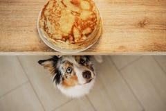 собака смотря еду Австралийский чабан ждет блинчики Любимец ест стоковое изображение
