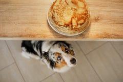 собака смотря еду Австралийский чабан ждет блинчики Любимец ест стоковые фото