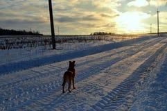 Собака смотря заход солнца зимы Стоковое фото RF