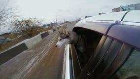 Собака смотря мир от окна автомобиля Автомобиль идет медленным на дороге снега сток-видео