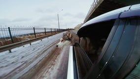 Собака смотря мир от окна автомобиля Автомобиль идет медленным на дороге снега акции видеоматериалы