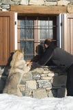 собака смотря окно человека Стоковое Фото