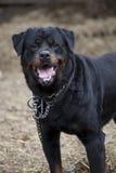 собака смотря порочен Стоковые Изображения RF