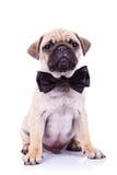 собака смычка милая mops щенок шеи Стоковое Фото