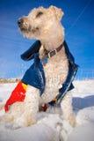 собака снежная Стоковое Изображение