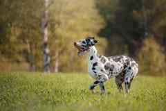 Собака собаки далматинская в природе стоковое изображение