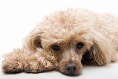 собака сонная Стоковые Фото