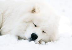 собака сонная Стоковые Фотографии RF