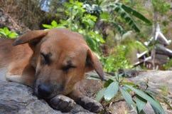собака сонная Стоковое фото RF