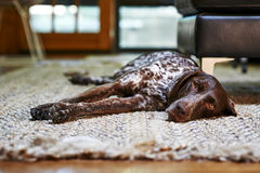 собака сонная Стоковые Изображения