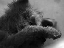 собака сонная Стоковое Изображение RF