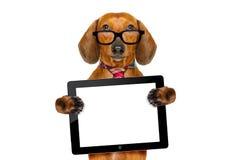 Собака сосиски таксы на командировке Стоковые Изображения