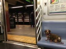 Собака сосиски таксы на метро Нью-Йорка Стоковые Фотографии RF