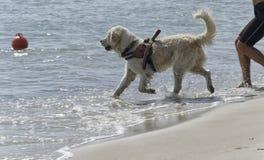 Собака спасения входя в в море Стоковое Фото