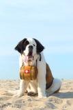 Собака спасения с бочонком стоковая фотография