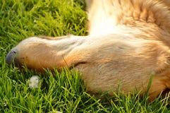 Собака спать в траве Стоковые Изображения