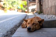 Собака спать коричневая в деревне стоковое фото