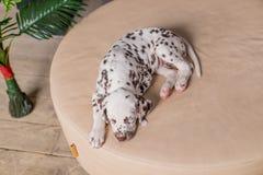 Собака спать на кровати Любимчик дома Милый портрет далматинского щенка 8 недель старых Малый далматинский щенок скопируйте космо Стоковое Изображение