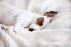 Собака спать на кровати стоковые фотографии rf