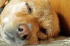 Собака спать на поле, крупном плане, мелком фокусе стоковое изображение
