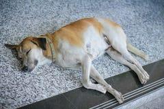 Собака спать на собаке Таиланда пола Стоковое фото RF