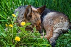 Собака спать на траве Стоковые Изображения